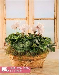 flowers: White Cyclamen's in a Wicker Basket!