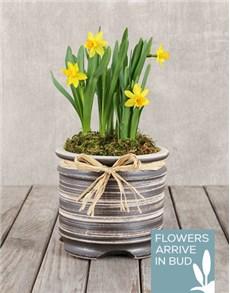 plants: Daffodil Plant in Round Ceramic Pot!