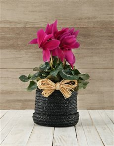 plants: Cyclamen in a Hatbox!