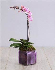 flowers: Mini Orchid in a Square Purple Vase!