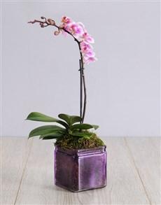 Picture of Mini Orchid in a Square Purple Vase!