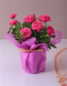 plants: Cerise Rose Bush in Wrapping!