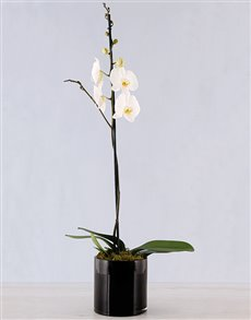 plants: Amor Vittone Elegant Orchid!