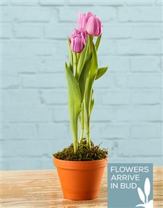 flowers: Tulip Pot Plant!