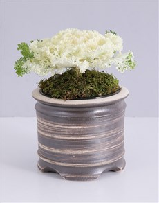 flowers: White Kale Plant in Pot!