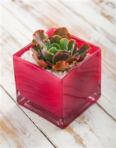plants: Succulent in Pink Square Vase!