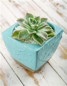 plants: Succulent in Blue Ceramic Pot!
