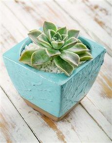 gifts: Succulent in Blue Ceramic Pot!