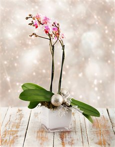 plants: Silent Night Orchid Gift!