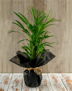 plants: Amazing Areca Bamboo Plant!