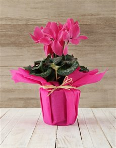 plants: Cyclamen in Tissue Paper!