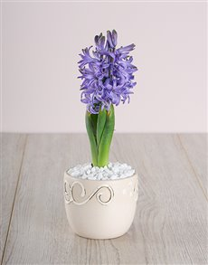 flowers: Blue Hyacinth in Cream Ceramic!