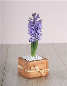 flowers: Blue Hyacinth in a Wooden Crate!