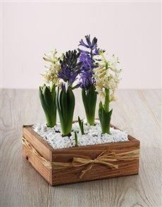 flowers: Hyacinth Plant Garden!