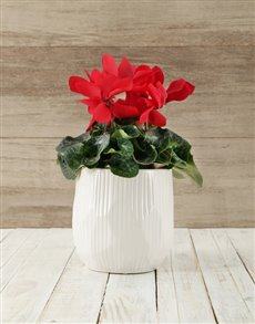 plants: Cyclamen in White Ceramic Bowl!