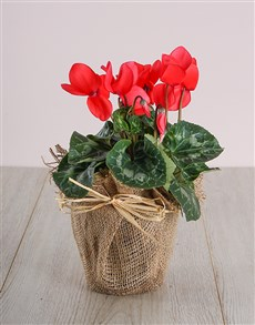 plants: Red Cyclamen in Hessian!