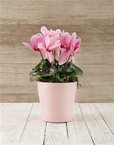 plants: Pink Cyclamen Pot!