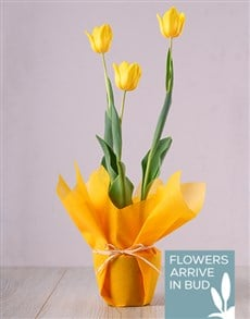 gifts: Yellow Tulip Plant!