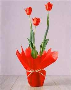 gifts: Red Tulip Plant!
