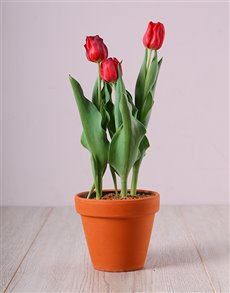 flowers: Fiery Red Tulip Plant!