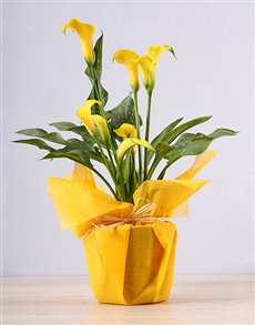 plants: Yellow Zantedeschia Plant!