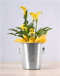 plants: Yellow Zantedeschia Ice Bucket!