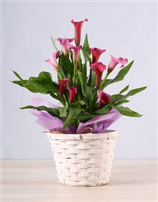 plants: Pink Zantedeschia Basket!
