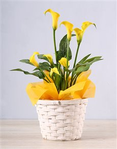 plants: Yellow Zantedeschia Basket!