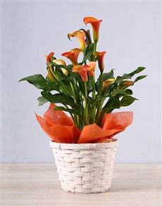 flowers: Orange Zantedeschia Basket!