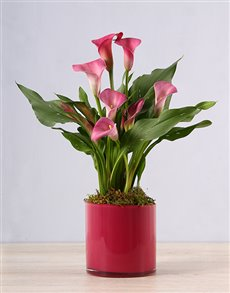 plants: Pink Zantedeschia in Pink Vase!