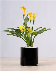 plants: Yellow Zantedeschia in Black Vase!