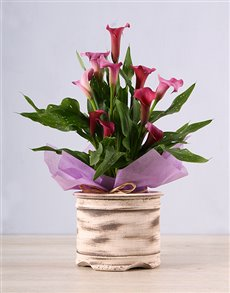 plants: Pink Zantedeschia in Ceramic Pot!