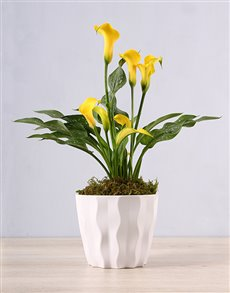 plants: Yellow Zantedeschia in White Container!