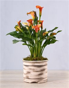 plants: Ceramic Pot with Orange Zantedeschia!
