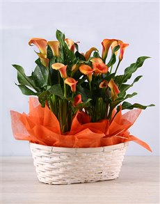 plants: Vibrant Orange Zantedeschias in Basket!