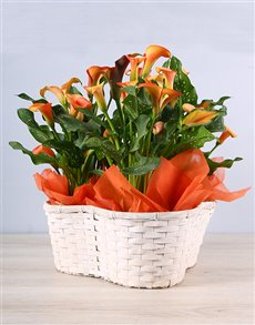 flowers: Joyous Orange Zantedeschia Basket!