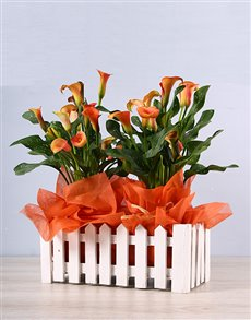 flowers: Vibrant Zantedeschia Picket Fence Plant!