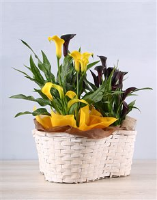 plants: Fond Friendship Zantedeschia Basket!
