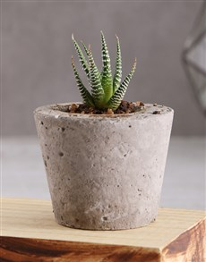 plants: Succulent in a Cement Pot!