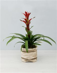 plants: Blushing Guzmania Plant!