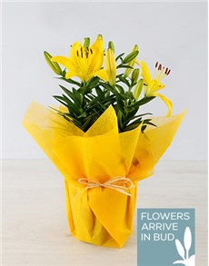 plants: Yellow Asiatic Lily in Yellow Wrapping!