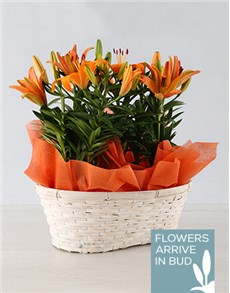flowers: Double Asiatic Lily Basket!
