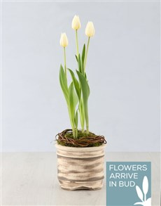 plants: White Tulip Plant in Ceramic Pot!