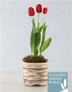 flowers: Red Tulip Plant in Ceramic Pot!