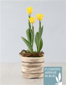 plants: Yellow Tulip Plant in Ceramic Pot!