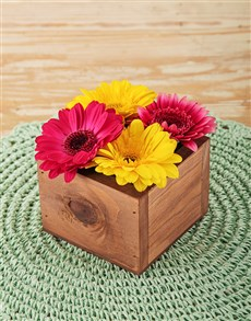 gifts: Mini Gerberas in Wooden Box!