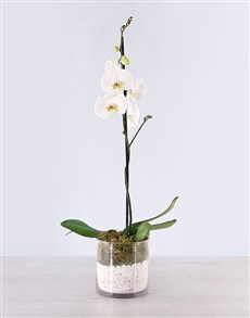 plants: Phalaenopsis Orchid with Pebbles!