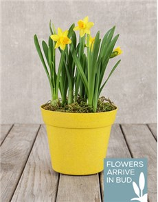 flowers: Daffodil Pot!