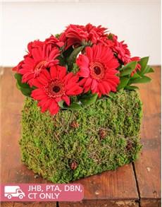 flowers: Mini Red Gerberas in a Moss Basket!
