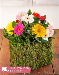 flowers: Moss Basket of Assorted Mini Gerberas!